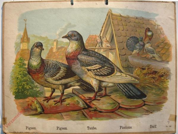 725 - Pigeon, Pigeon, taube, Piccione, Duif